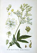 Meadowsweet  (Spirea ulmaria or Filipendula ulmaria) perennial herb native of  Europe and Western Asia.  Used as a strewing herb (a favourite of Elizabeth I of England), a flavouring in wine and preserves, and in pot pourr. From Amedee Masclef 'Atlas des Plantes de France', Paris, 1893.