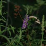 A small blossoming of purple flowers.  It was getting dark, but as this was under a heavy tree canopy, so it was already dark.  Kripalu, Stockbridge, MA