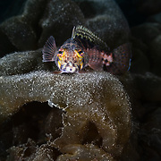This is a U-mark sandperch (Parapercis snyderi) poised on top of delicate folds of brown algae Colpomenia sinuosa.