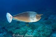 spotted unicornfish, brown unicornfish, or shortnose <br /> unicornfish, Naso brevirostris , <br /> Maaya Thila. Ari Atoll, <br /> Maldives, ( Indian Ocean )