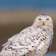 Snowy Owl adult on the tundra. Barrow, Alaska