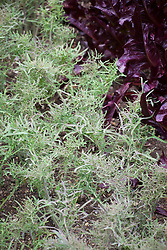 Kale 'Frills of Hex' - Salad Naald Kool