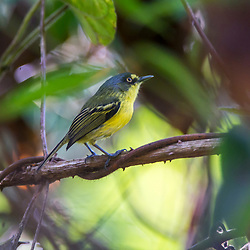 """Teque-teque (Todirostrum poliocephalum) fotografado no Caparaó, Espírito Santo -  Sudeste do Brasil. Bioma Mata Atlântica. Registro feito em 2018.<br /> ⠀<br /> ENGLISH: Yellow-lored Tody-Flycatcher photographed in Caparaó, Espírito Santo - Southeast of Brazil. Atlantic Forest Biome. Picture made in 2018."""