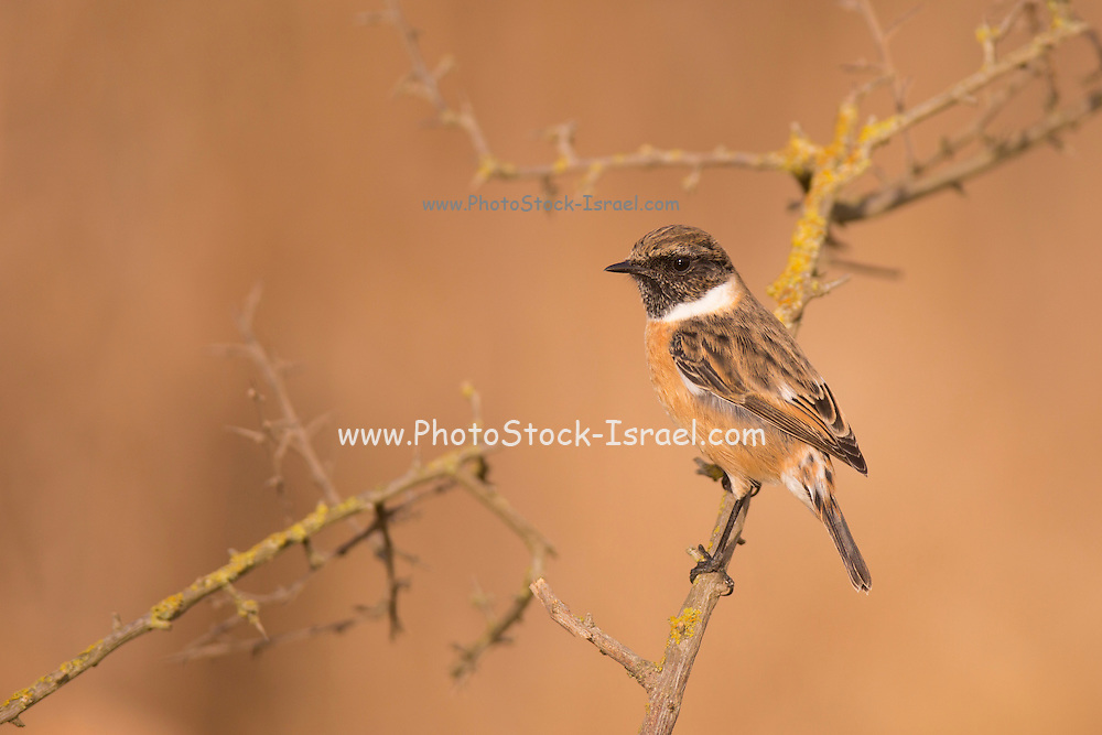 Male common stonechat, or  European Stonechat (Saxicola rubicola). This small songbird gets its name from its call, which sounds like two stones being knocked together. It lives in open heathland, swooping down from a vantage point to take insects on the ground or sometimes in the air. It nests on or near to the ground. This bird is found throughout Europe, in the Middle East and in southern and eastern Africa. Photographed in Israel in November