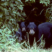 Black Bear, (Ursus americanus) Three spring cubs huddle together near edge of forest. Late summer.