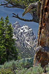 """Grand Tetons, old limbar pine, Grand Teton National Park,<br /> <br /> For production prints or stock photos click the Purchase Print/License Photo Button in upper Right; for Fine Art """"Custom Prints"""" contact Daryl - 208-709-3250 or dh@greater-yellowstone.com"""