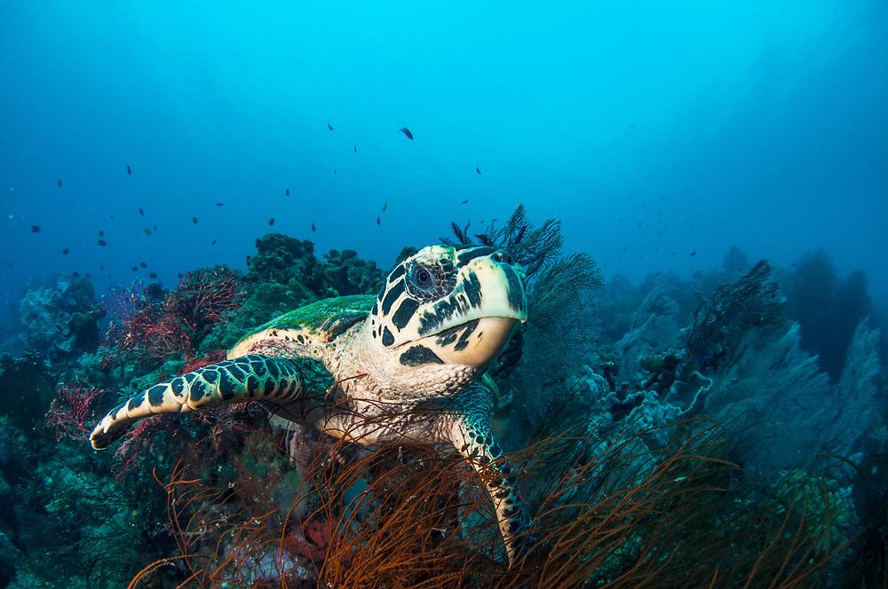 Hawksbill Turtle (Eretmochelys imbricata) portrait. Kimbe Bay, Papua New Guinea.