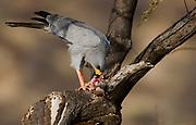 Eastern Chanting Goshawk , Melierax poliopterus, feeding on a squirrel in Samburu NP, Kenya.