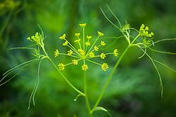 Ridolfia segetum. Corn Parsley, False Fennel