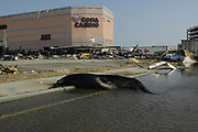 A sea lion from the gulfport aquairium lies dead in front of what used to be the copa casino on hwy90 in gulfport Wed aug 31,2005.(photo/Suzi Altman)