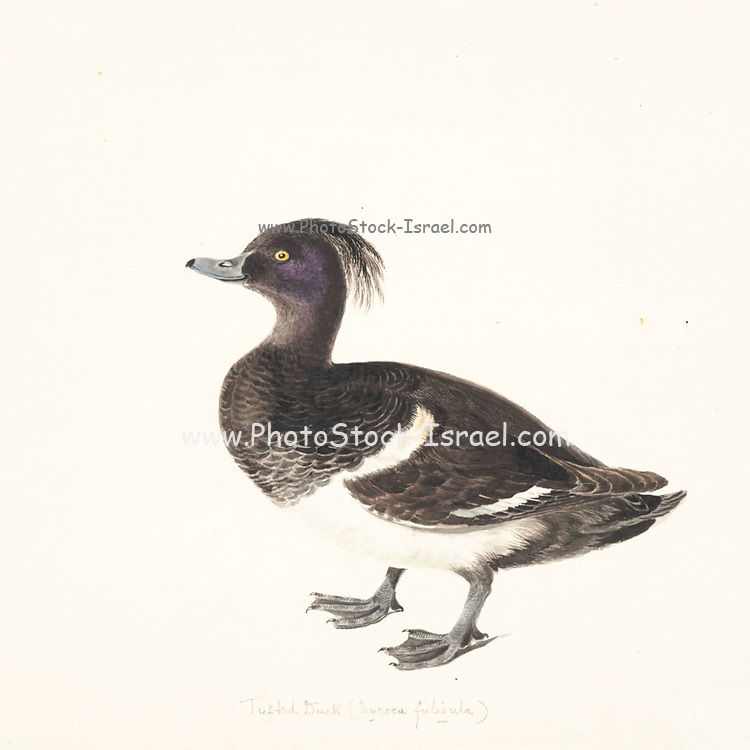 Male tufted duck (Aythya fuligula). This duck is found throughout temperate and northern Eurasia. It is a diving duck that feeds on molluscs, aquatic plants and insects with mussels being a favourite source of food. 18th century watercolor painting by Elizabeth Gwillim. Lady Elizabeth Symonds Gwillim (21 April 1763 – 21 December 1807) was an artist married to Sir Henry Gwillim, Puisne Judge at the Madras high court until 1808. Lady Gwillim painted a series of about 200 watercolours of Indian birds. Produced about 20 years before John James Audubon, her work has been acclaimed for its accuracy and natural postures as they were drawn from observations of the birds in life. She also painted fishes and flowers. McGill University Library and Archives