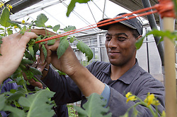 Man with disability at work at Brook Farm; Linby; tending plant in greenhouse,