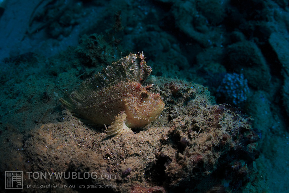 Pale leaf scorpionfish (Taenianotus triacanthus) perfectly camouflaged against muck background. Ambon, Indonesia