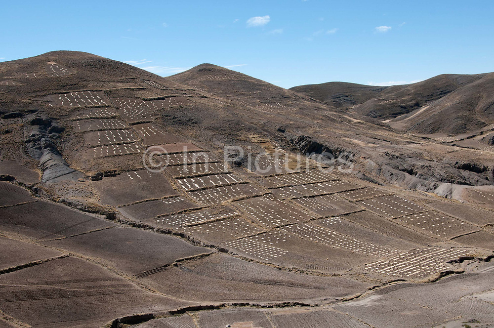 Bolivia,  June 2013. Altiplano landscape with piles of cut barley, food for animals.