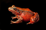 Northern red-legged frog (Rana aurora). female. © Michael Durham / www.DurmPhoto.com