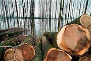 Nederland, Ooijpolder, 30-10-2002Onderhoud van populieren bos langs de Waal.Populierenstammen liggen opgestapeld om verwerkt te worden tot pallets of papier. Houtafval en takken worden gebruikt voor groene stroom. houtkap staatsbosbeheer. Houtverwerkende industrieFoto: Flip Franssen/Hollandse Hoogte