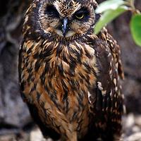 South America, Ecuador, Galapagos Islands. Short-eared owl of the Galapagos.