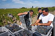 Vendangeurs with Merlot grapes at vendange harvest in famous Chateau Petrus vineyard at Pomerol, Bordeaux, France