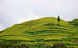 September 6, 2017 - Congjiang, Congjiang, China - Autumn is the best season to view the beautiful scenery of terraced fields in Congjiang, southwest China's Guizhou Province. (Credit Image: © SIPA Asia via ZUMA Wire)