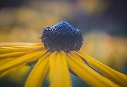 THEMENBILD - ein Detail der Sonnenhut-Blüte (Rudbeckia), aufgenommen am 05. August 2018, Kaprun, Österreich // a detail of the sun hat bloom (Rudbeckia) on 2018/08/05, Kaprun, Austria. EXPA Pictures © 2018, PhotoCredit: EXPA/ Stefanie Oberhauser
