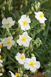 White Helianthemum - probably 'Wisley White'. Rock rose
