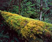 Ferns on Massive Douglas-fir Log,Three Sisters Wilderness,Willamette National Forest, Oregon