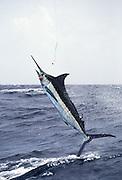 Jumping Atlantic Blue Marlin.