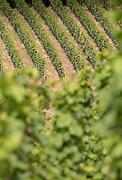 High angle view of vineyard in Trier, Germany
