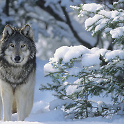 Gray Wolf (Canis lupus) adult during the winter. Captive Animal