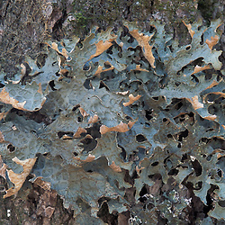 Kibby Township, ME. A lichen, Lobaria pulmonaria, on an old sugar maple.  An indicator for late successional hardwood forest. Plum Creek land.