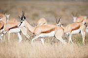 Springbuck herd in open grassland, Etosha National Park