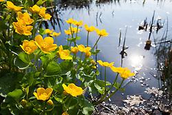 Kingcup, Marsh marigold. Caltha palustris