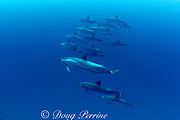 Hawaiian spinner dolphins or Gray's spinner dolphin, Stenella longirostris longirostris, Kona, Hawaii ( the Big Island ), USA ( Central Pacific Ocean )