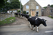 Dairy farmer moving his cows into a nearby field. Hardraw, Yorkshire, England, UK.