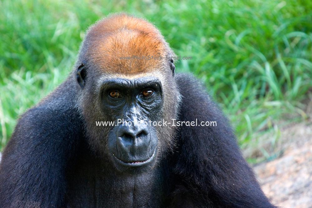 A portrait of a Western Gorilla