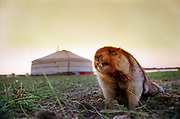 A marmot, also called groundhog, or prairie dog, getting out of her hole in front of a yurt in Western Mongolia. Marmot are eaten on the barbeque (BBQ) on special occasions throughout Mongolia.