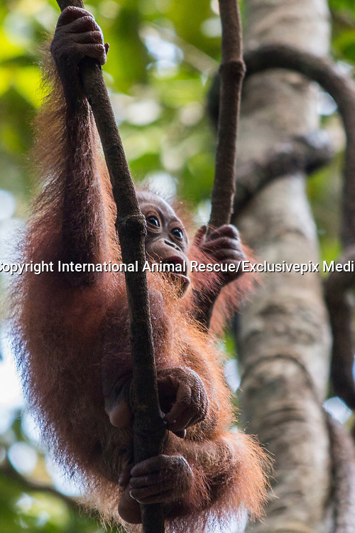 """Baby orangutan who was rescued after spending SIX MONTHS chained by the neck to a narrow plank of wood in a family's kitchen is now healthy and doing well at the International Animal Rescue Orangutan Centre in Ketapang, West Borneo<br /> <br /> """"Bonika"""" the baby orangutan's story back in November 2016  was rescued after spending six months chained by the neck to a narrow plank of wood in a family's kitchen.<br /> The 18-month-old ape, named Bonika, was found chained so tightly around the neck that she was barely able to move from side to side.<br /> She was left stranded on the plank after she was captured by Bapak Hendrigus, who found her in the middle of a palm oil plantation<br /> <br /> now after spending 6 months at the centre """"Bonika"""" is a million miles away from her past life...<br /> <br /> Heribertus Suciadi, a member of the team  in Ketapang, West Borneo said....<br />  """"Bonika - She is so smart! She learns quickly in pre-school where she spends her days playing and climbing with other babies. She has the natural instinct of how to climb up high in the trees, grab some branches and leaves to build a nest  and how to socialise with other orangutans. At first she was a picky eater, she didn't want to eat certain fruits or vegetables. But now, she will eat any kind of fruits and vegetables which the baby sitter brings to the forest! Bonika loves to observe the world from the top of a tree, therefore whenever the babies arrive at school she will climb up high then swing from tree to tree""""<br />  <br /> In conclusion - after her terrible start in life, Bonika is showing all the signs of becoming the perfect candidate for eventual release back into the forest. We're thrilled with her progress so far!<br /> ©International Animal Rescue/Exclusivepix Media"""