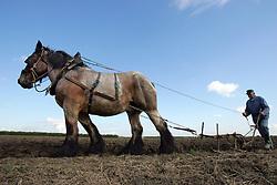 Brabander trekpaard  <br /> Dierenkliniek De Bosdreef - Moerbeke 2004<br /> Photo © Hippo Foto