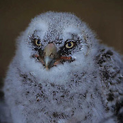 Great Gray Owl, (Strix nebulosa) Portrait of chick in nest in old growth forest. Spring . Montana.