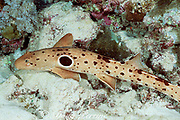 epaulette shark, Hemiscyllium ocellatum, The Cod Hole, Great Barrier Reef, Queensland Australia ( Western Pacific Ocean )