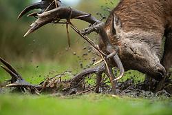 Red deer Cervus elaphus, stag covering itself in mud during the rutting season, Bushy Park, London, October