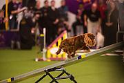 New York, NY - 8 February 2014. Summer, a King Charles Cavalier Spaniel, climbing the seesaw.