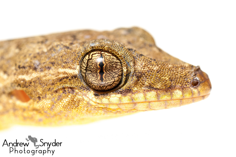 Turnip-tailed gecko, Thecadactylus rapicauda, Iwokrama, Guyana, July 2013