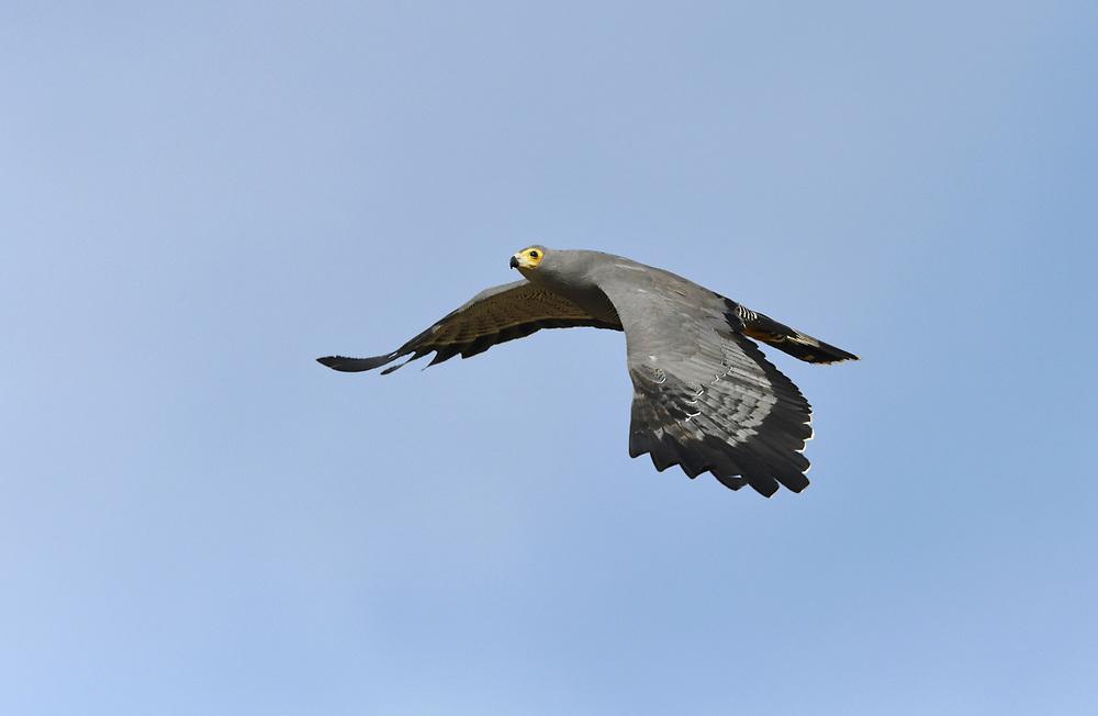 African Harrier-hawk - Polyboroides typus
