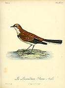 Lavandière brune from the Book Histoire naturelle des oiseaux d'Afrique [Natural History of birds of Africa] Volume 4, by Le Vaillant, Francois, 1753-1824; Publish in Paris by Chez J.J. Fuchs, libraire 1805