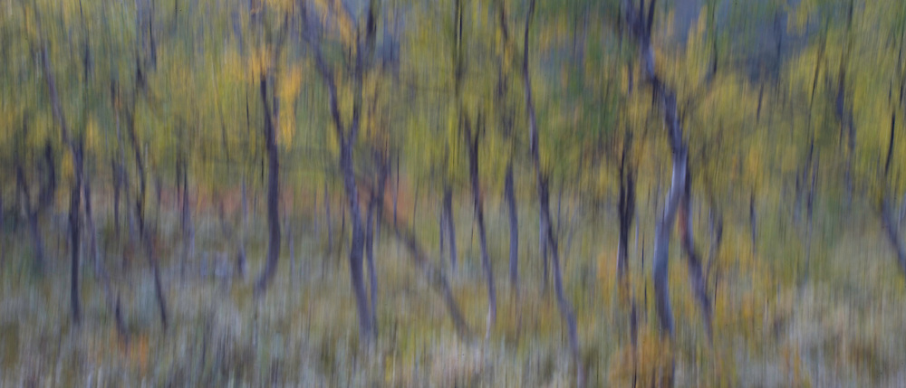 Abstract impression of autumnal boreal birch forest, Sarek National Park, Laponia World Heritage Site, Sweden