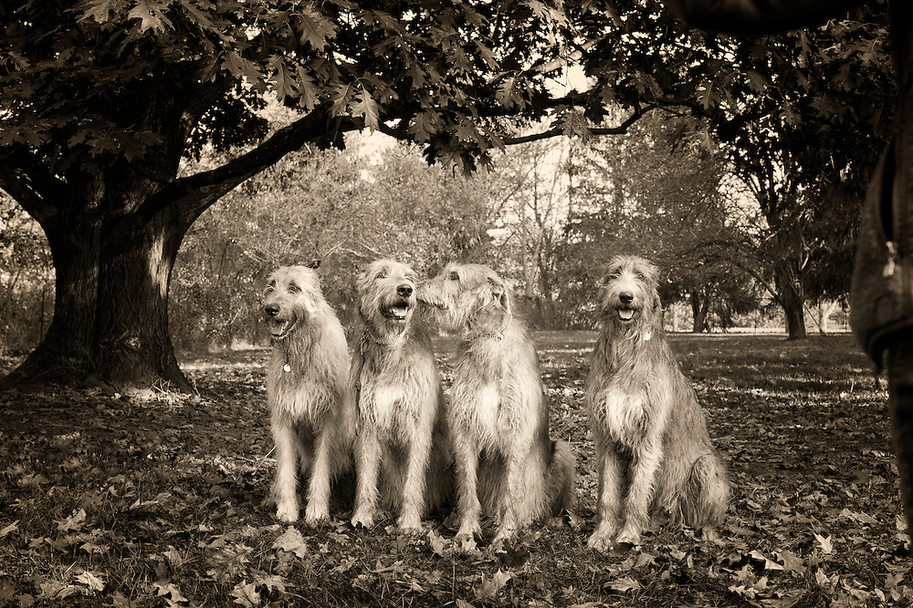 Black and White of four wolfhounds sitting under a large oak tree