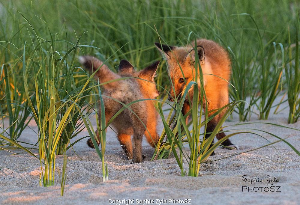 Red Fox Kits at Sunset