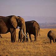 African Elephant, (Loxodonta africana) Herd on Serengeti Plains. Masai Mara Game Reserve. Kenya.