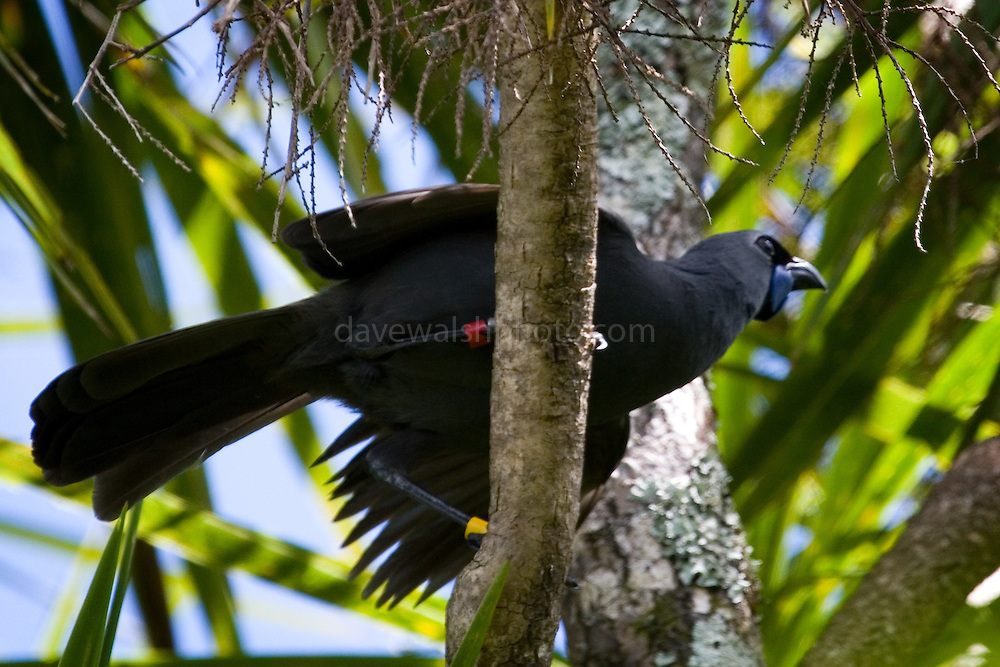 Kokako or Kokako, endangered native forest bird in New Zealand, photographed on the island of Tiritiri Matangi. It's one of the three species of wattlebirds in New Zealand, and is now endangered, due to predation by cats, stoats, possums, rats, mice, etc. It can't fly very well, and uses its strong legs to hop from place to place through the forest. Only 400 pairs are known to exist of this subspecies, the North Island Kokako ....In Maori myth, it was the kokako that gave Maui water as he fought the sun. The kokako filled its wattles with water and brought it to Maui. His thirst quenched, Maui rewarded the kokako by making its legs long and slender, enabling the bird to bound through the forest with ease in search of food.